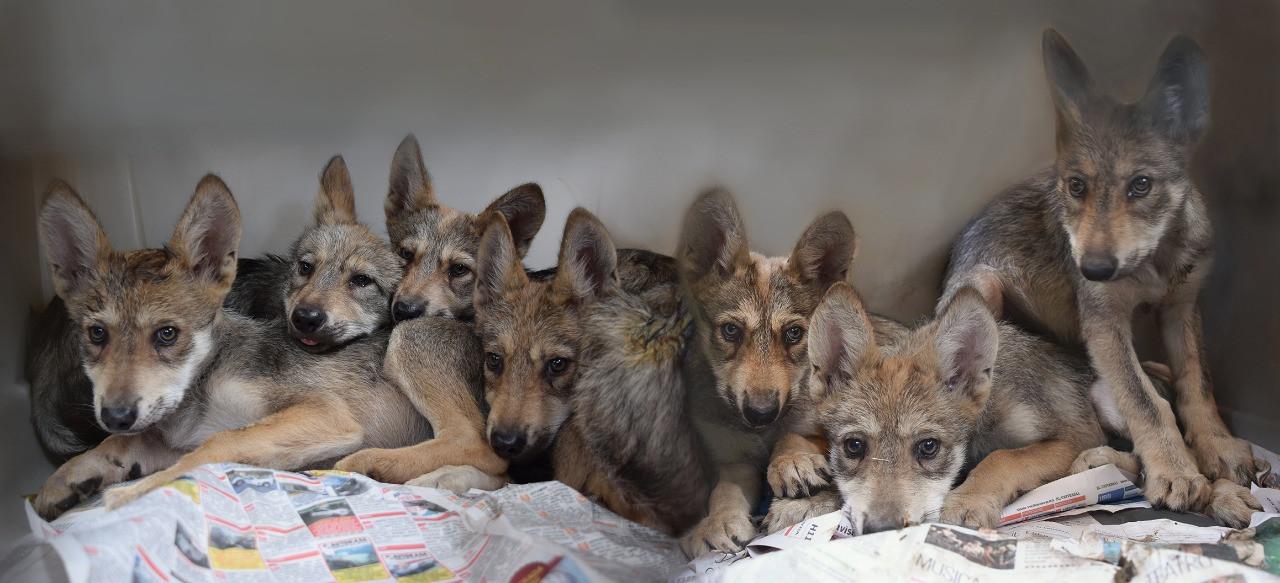 camada lobos mex ZLC.jpeg