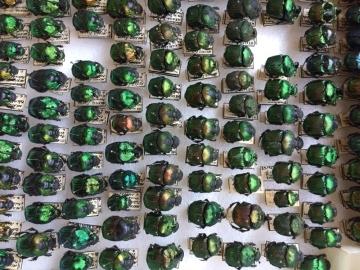 escarabajos5 (1).jpg