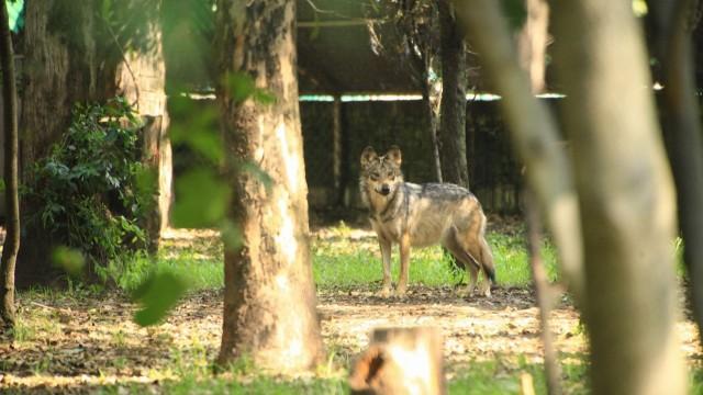 Adulto reproductor de Lobo Mexicano en el Zoológico Los Coyotes.jpeg