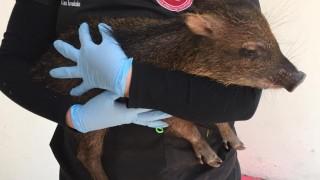 Nacen tres ejemplares de pecarí en zoológicos de Chapultepec y Aragón