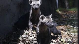 Informa Sedema sobre el primer nacimiento de hienas en el Zoológico de Chapultepec