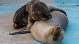 Estables y bajo supervisión médico veterinaria lobas marinas rescatadas