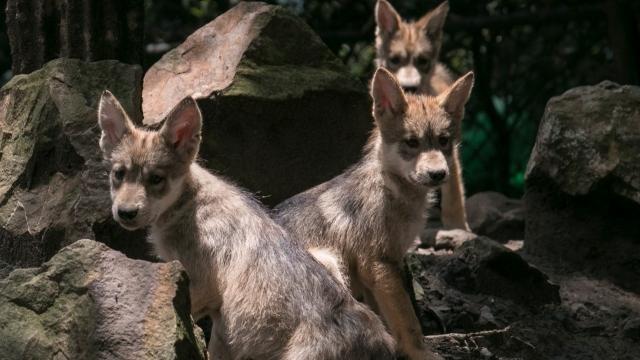 📽 ¡Frenemos la extinción del lobo mexicano! 🐺