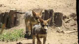 Busca Sedema nombre para cachorros de lobo mexicano nacidos en el Zoológico de San Juan de Aragón