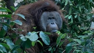 Tarjeta informativa sobre Toto, el orangután